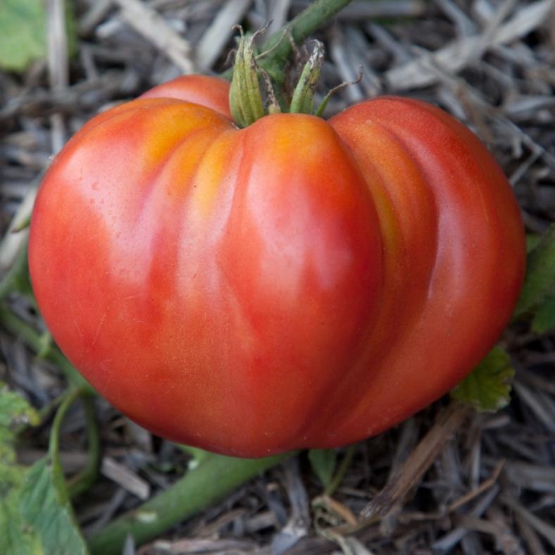 Giant Oxheart Tomato © Matt Emrich Photo