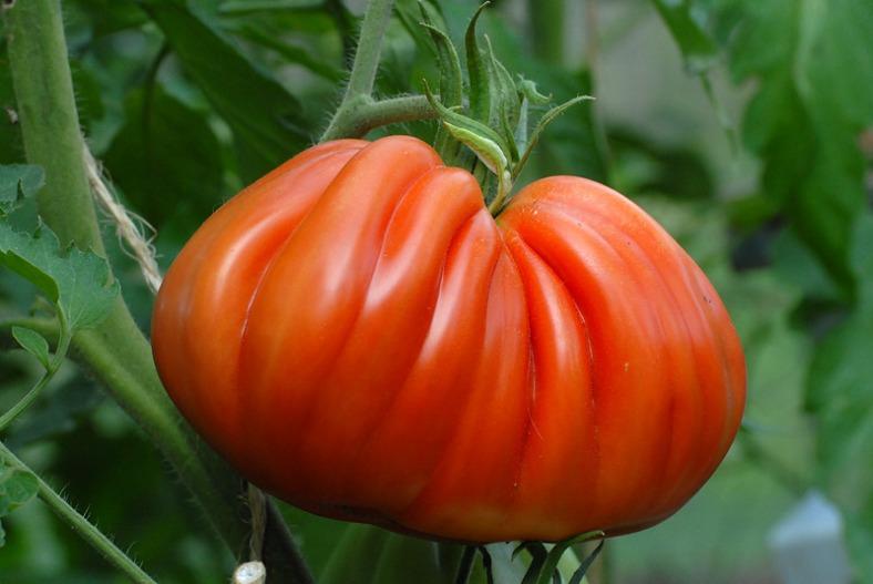 tomate inima de bou albenga